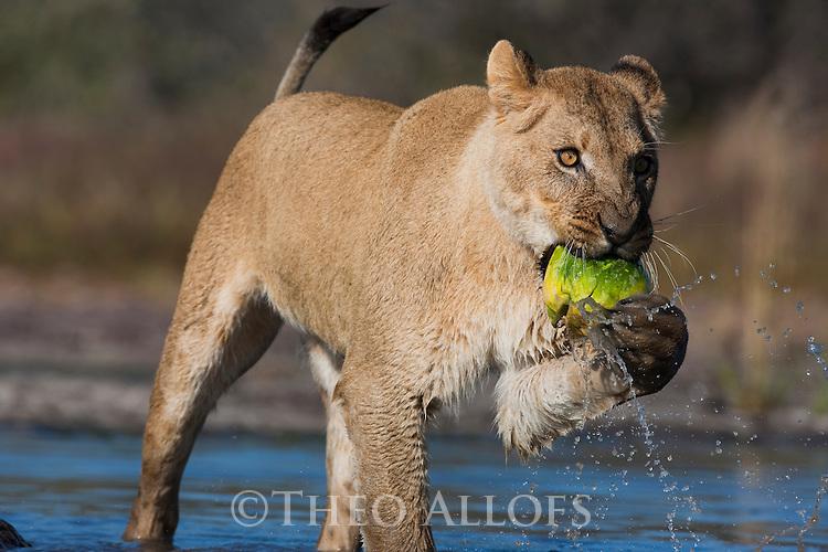 Botswana, Kalahari, lioness, captive, playing with nara fruit in water hole