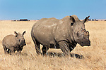 Dehorned white rhino (Ceratotherium simum) with calf on rhino farm, Klerksdorp, North West Province, South Africa, June 2012
