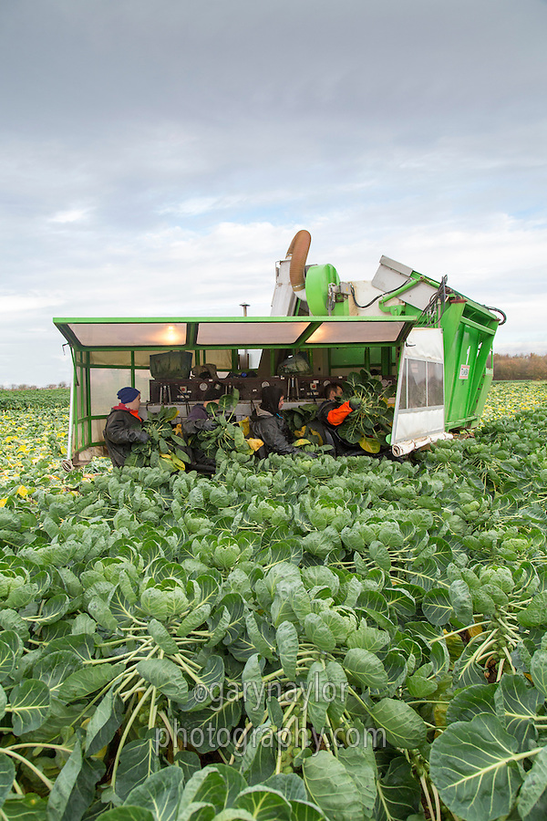 Harvesting Brussels sprouts with a 4 row Tumoba harvester - Linconshire, December