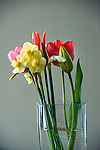 Daffodils and tulips in vase.
