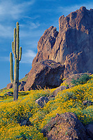 Brittlebush and saguaro in Siphon Draw<br />