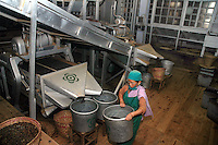 INDIA (West Bengal - Darjeeling) June 2007, Woman at work at tea cleaning and sorting room at Makaibari Tea Factory.  Makaibari produces the most expensive tea in the world. They produce the tea organically (without using any fertilizers or spraying pesticides)through permaculture.  Makaibari is situated at the misty foot hills of Darjeeling Himalayas - Arindam Mukherjee