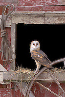 Barn Owl, New Jersey