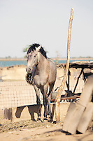 A horse is tied to a post on the banks of the Niger River at Segou, Mali
