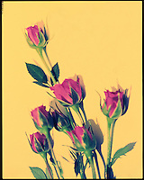 4x5 Cross Process Photo in narrow focus of a bouquet of Red Roses