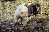 spirit bear, kermode, black bear, Ursus americanus, mother with cubs fishing for salmon, central British Columbia coast, Canada
