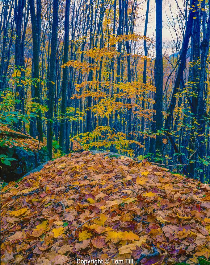 Fallen leaves, Adirondack Mountain Preserve, New York, Adirondack Mountains, Mt. Marcy trail