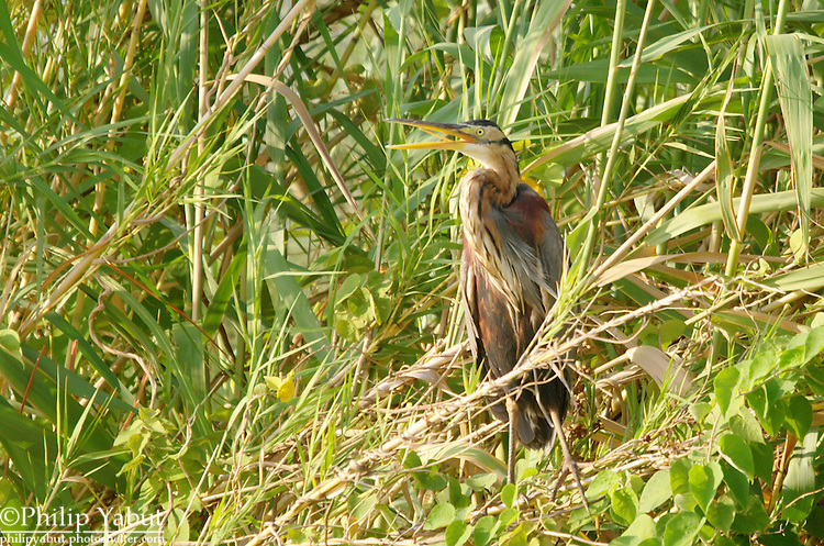 Purple heron (Ardea purpurea), Zambezi River in Zambezi National Park, Zimbabwe
