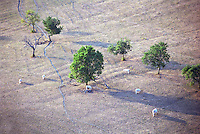 A dry field a scorching hot summer with some cows trying to find food, cattle tracks, a few trees, seen from above
