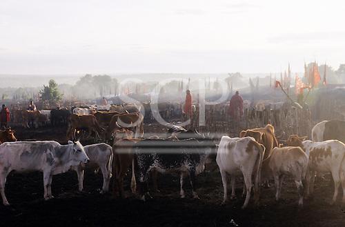 Lolgorian, Kenya. Siria Maasai; cattle herd with Maasai herders at the manyatta for the Eunoto coming of age ceremony.