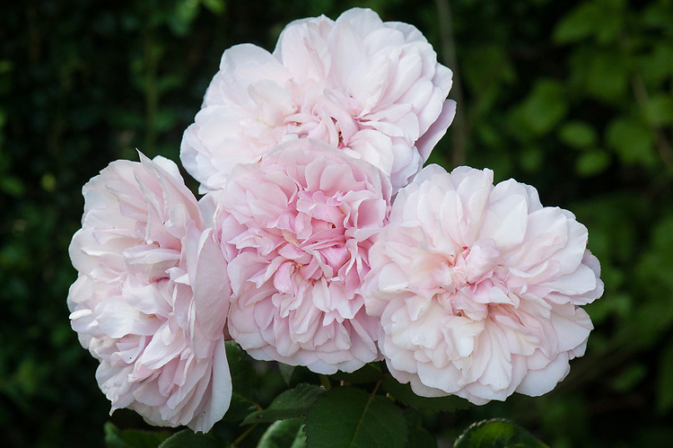 Rosa 'Irène Watts' mid June. A China rose with fragrant, double, pale salmon-pink flowers from late spring into autumn.
