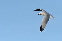 Audouin's Gull - Larus audouinii - summer adult