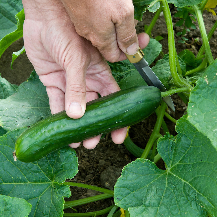 Picking cucumber, mid July.