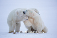01874-13501 Polar Bears (Ursus maritimus) sparring, Churchill Wildlife Management Area, Churchill, MB
