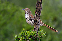 582000057 a wild long-billed thrasher toxostoma longirostre perched in a small tree on dos venadas ranch rio grande valley texas