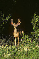 Mule deer buck in velvet.  Rocky Mountain region, summer.