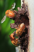 At the entrance to their hive, three Melipona flavolineata bees guard the platform that the colony built out of resign and clay.
