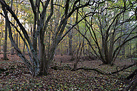 Hazel coppice, Stoke Wood, Oxfordshire.