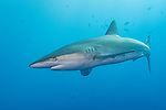 San Benedicto Island, Revillagigedos Islands, Mexico; a solitary silky shark swimming in blue water near the surface