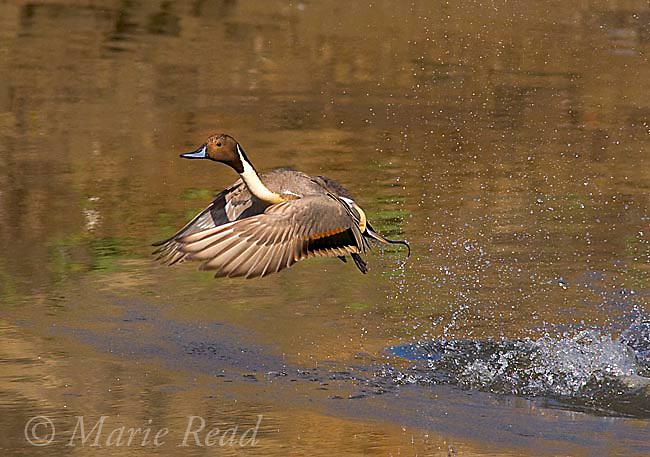 Northern PIntail (Anas acuta), male taking flight, Bolsa Chica Ecological Reserve, California, USA