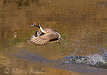 Northern PIntail (Anas acuta), male taking flight, Bolsa Chica Ecological Reserve, California, USA