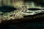 Crocodile in murky swamp water.