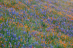 Sierra National Forest, CA<br /> Detail of a flowering hillside with lupine and California poppies along the Moss Creek Trail, Merced River Canyon
