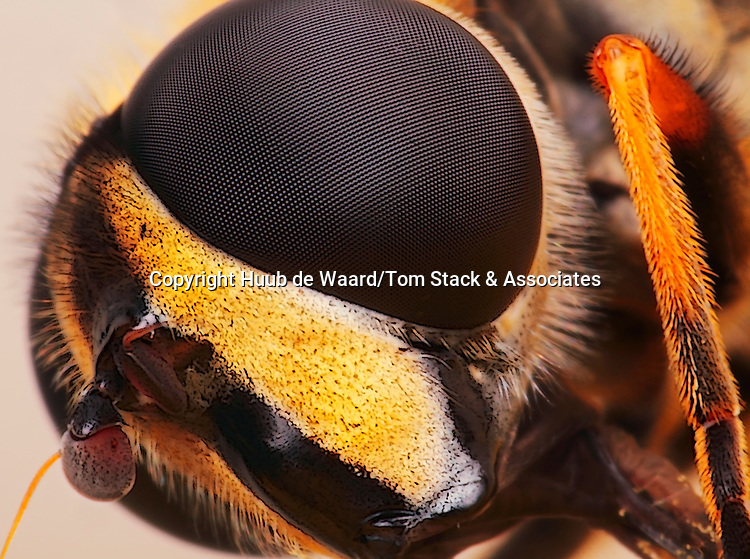 Portrait female marmalade hoverfly, made with magnification 5 and f/14 using a Canon 7D, a Canon MP-E 65mm/2.8 and a Canon 2x teleconverter...Episyrphus balteatus, sometimes called the marmalade hoverfly, is a relatively small hoverfly (9–12 mm) of the Syrphidae family, widespread throughout all continents. Like most other hoverflies it mimics a much more dangerous insect, the solitary wasp, though it is a quite harmless species. The upper side of the abdomen is patterned with orange and black bands. Two further identification characters are the presence of secondary black bands on the 3rd and 4th dorsal plates and of faint greyish longitudinal stripes on the thorax...E. balteatus can be found throughout the year in various habitats, including urban gardens, visiting flowers for pollen and nectar. They often form dense migratory swarms, which may cause panic among people for its resemblance to wasps. It is among the very few species of flies capable of crushing pollen grains and feeding on them. The larva is terrestrial and feeds on aphids. As in most other hoverflies, males can be easily identified by their holoptic eyes, i.e., left and right compound eyes touching at the top of the head (source: Wikipedia).