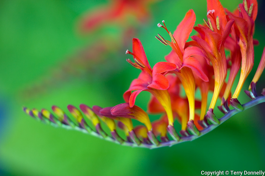 Vashon, WA<br /> Close up of a spike of red crocosmia 'Lucifer' flowers