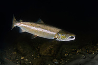 Atlantic Salmon, Salmo salar<br /> River Orkla, Rennebu, Norway<br /> Photographed at catch/release fishing.