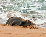 "Hawaiian Monk Seal or ""llio-holo-i-ka-uaua"" (dog that runs in rough waters) is sunbathing on Shipwreck Beach  in Po'ipu Bay on Kaua'i, Hawaii"