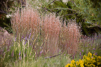 Little blue stem (Schizachyrium scoparium) flowering grass and wildflower Liatris punctata in front yard meadow garden with natural lawn of Buffalo Grass (Buchloe dactyloides).