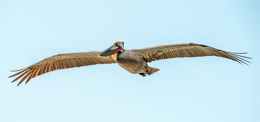 A brown pelican in flight over the Pacific coast at Laguna Beach.