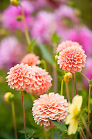 Dahlias in bloom, Washington