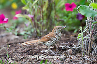 01403-00904 Brown Thrasher (Toxostoma rufum) feeding on ground Marion Co., IL