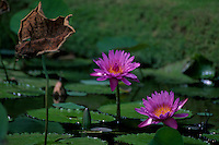 Fragrant Water Lilies (Nymphaea odorata), Allerton Garden, National Tropical Botanical Garden,<br /> Kauai, Hawaii, US