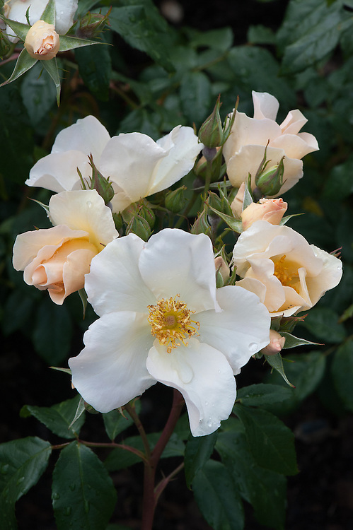Rosa 'Sally Holmes', early June. A cross between the Floribunda 'Ivory Fashion' and the Musk rose 'Ballerina', named after the wife of the breeder and introduced in 1976. Clusters of flowers start as pink buds then fade to white as they open.