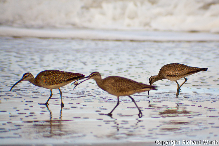 One whimbrel has its breakfast while two others continue to search in the sand for food.