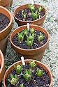 Terracotta pots of hyacinths, Heligan, Cornwall, mid February.