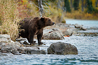 Fall landscape of grizzly bear at Crescent Lake in Lake Clark National Park, Alaska<br /> <br /> Photo by Jeff Schultz/SchultzPhoto.com  (C) 2018  ALL RIGHTS RESERVED<br /> <br /> 2018 Bears, Glaciers and Fall Colors Photo tour/workshop