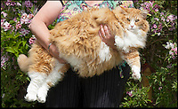 BNPS.co.uk (01202 558833)<br /> Pic: PeterWillows/BNPS<br /> <br /> Is it lunch yet...<br /> <br /> Ulric the Viking...Norwegian Forest cat has done a little too much pillaging.<br /> <br /> Jan Mitchell from Dorchester in Dorset was shocked to discover she owns Britains fattest cat. Ulric her prized Norwegian Forest cat topped the scales at a whopping 2 stone 2lbs - over double the weight he should be.<br /> <br /> Embarrased Jan thinks porker Ulric's penchant for pillaging from his sister's bowl has led to him ballooning in size - but she has now put him on a strict excercise routine to trim him down to size.