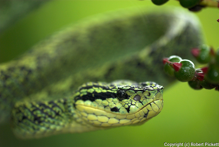 Black Speckled Palm Pitviper Snake, Bothriechis nigroviridis, venomous pitviper species Costa Rica, flexible, coiling tails are prehensile and aid them in their tree climbing lifestyle, arboreal, on red flowering plant, portrait.Central America....