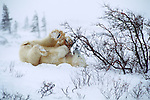 Polar bear cub plays with a bush at Hudson Bay, Churchill, Manitoba, Canada.
