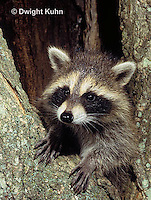 MA25-184z  Raccoon - young raccoon exploring, climbing tree  - Procyon lotor
