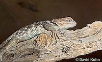 0614-1003  Desert Spiny Lizard Sunning in Desert, Sceloporus magister  © David Kuhn/Dwight Kuhn Photography