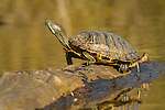 Red-eared Slider on log