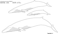 Fin whale, Balaenoptera physalus, family, illustration by the artist Wyland