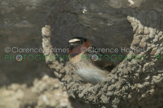 Cliff Swallow (Petrochelidon pyrrhonota) in its nest made of mud