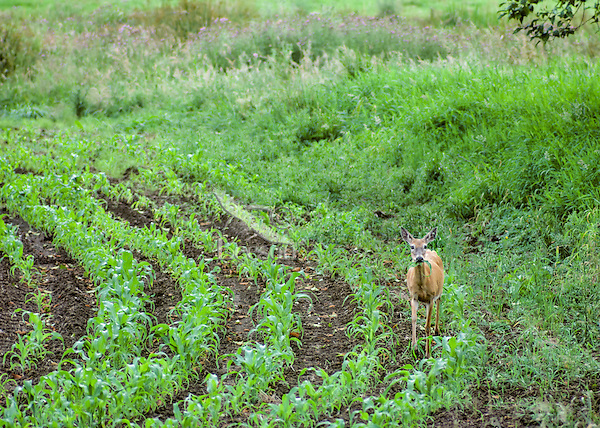 Columbia White-tail Deer doe eating young corn plants.  Spring. Pacific N.W.