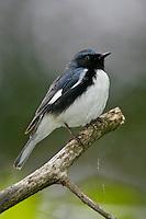 Black-throated Blue Warbler - Setophaga caerulescens - Adult male breeding
